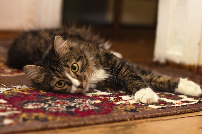 Cat - Pixabay CCO License