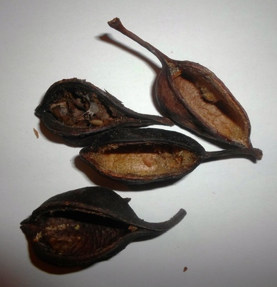 Kurrajong pods without seeds